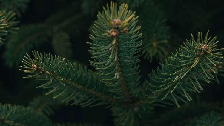 Prirodno ili umjetno božićno drvce – Božićno vrijeme
